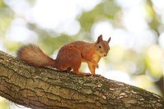 Rode eekhoorn Royalty-vrije Stock Foto's