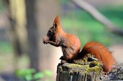 Rode Eekhoorn Stock Fotografie