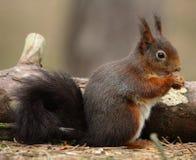 Rode eekhoorn bij Formby-natuurreservaat Royalty-vrije Stock Afbeeldingen