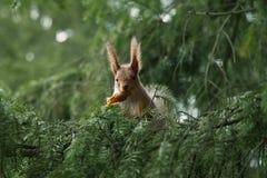 Rode eekhoorn in de takken van spar Royalty-vrije Stock Afbeelding
