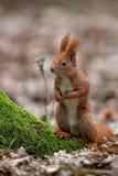 Rode eekhoorn in de wildernis Royalty-vrije Stock Afbeelding