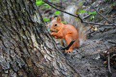 Rode eekhoorn dichtbij de boomstam van een boom royalty-vrije stock afbeeldingen
