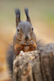 Rode eekhoorn dichte omhooggaand Stock Foto's