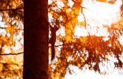 Rode eekhoorn die de boomboomstam lanceren Royalty-vrije Stock Fotografie