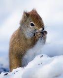 Rode eekhoorn die in de winter zaad eten Stock Afbeeldingen
