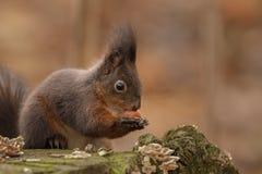 Rode eekhoorn die een noot openen Stock Afbeelding