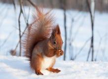 Rode eekhoorn die een okkernoot op sneeuw eten Royalty-vrije Stock Afbeeldingen