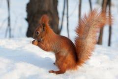 Rode eekhoorn die een okkernoot op sneeuw eten Royalty-vrije Stock Fotografie