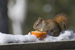 Rode Eekhoorn die een Sinaasappel eten Stock Foto's