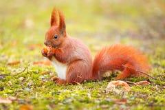 Rode eekhoorn die hazelnoot eten Stock Afbeelding