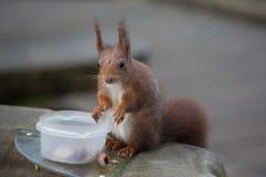 Rode eekhoorn die noten kiezen van een container Stock Foto's
