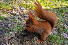 Rode Eekhoorn die noten op een bemost logboek eten tegen groene achtergrond op het bos stock foto's