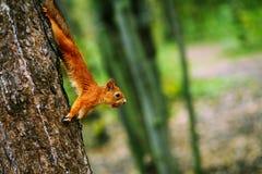 Rode eekhoorn die op boomboomstam leggen en noot in mond houden Stock Foto