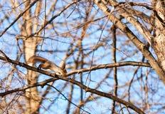 Rode eekhoorn die op een boomtak springen Stock Foto's