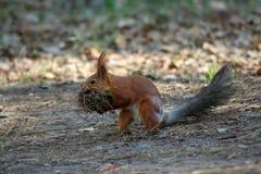 Rode eekhoorn die zich in gras bevinden Stock Fotografie