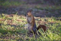 Rode eekhoorn die zich op gras bevindt Stock Afbeeldingen