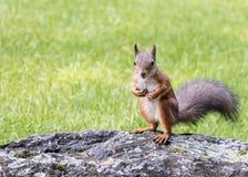 Rode eekhoorn die zich op grijze steen op vaag groen gras bevinden backg Stock Foto's