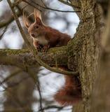 Rode eekhoorn in een boom Stock Fotografie