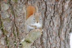 Rode eekhoorn in een boom stock afbeeldingen