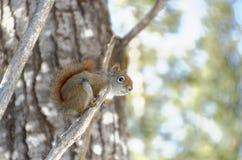 Rode eekhoorn in een boom royalty-vrije stock afbeeldingen