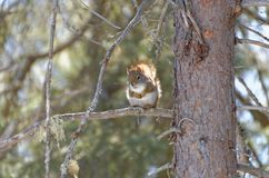 Rode Eekhoorn in een boom bij Algonquin Provinciaal Park royalty-vrije stock foto's