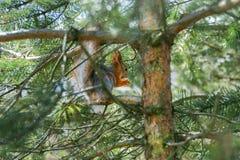 Rode eekhoorn in een boom die een noot eten Stock Afbeeldingen