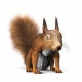 Rode eekhoorn of Europees-Aziatische rode eekhoorn, die naar de camera kijken Royalty-vrije Stock Foto