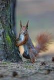 Rode Eekhoorn in het bos Royalty-vrije Stock Foto's