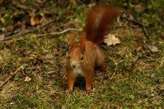 Rode eekhoorn in het hout Stock Afbeeldingen