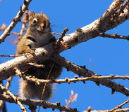 Rode Eekhoorn in Lariksboom Stock Afbeeldingen