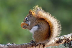 Rode eekhoorn met een noot Royalty-vrije Stock Foto's