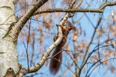 Rode eekhoorn met gesloten ogen het likken van berksap van tak royalty-vrije stock afbeelding