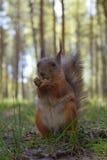 Rode eekhoorn met uitsteeksel, poten en bakkebaarden die op gras dichtbij pol in het park zitten Wilde bontknaagdiermacro Royalty-vrije Stock Afbeeldingen