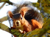 Rode eekhoorn op boomtak met okkernoot stock foto's