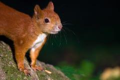 Rode eekhoorn op de boom stock fotografie