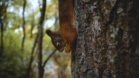 Rode Eekhoorn op de boom die een noot eten Het voeden van wilde dieren in het bos in aard stock videobeelden