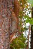 Rode eekhoorn op een boom Stock Afbeelding