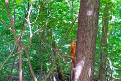 Rode eekhoorn op een boom in het bos royalty-vrije stock afbeeldingen