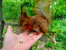 Rode eekhoorn op een hand Stock Foto