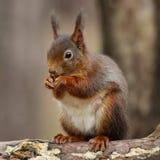 Rode eekhoorn op een tak in Formby Stock Foto