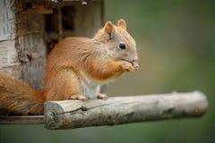 Rode eekhoorn op een vogellijst stock afbeelding