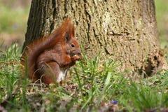Rode eekhoorn op het gras stock foto's