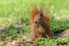 Rode eekhoorn op het gras stock foto