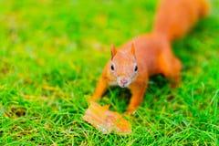 Rode eekhoorn op het gras Stock Afbeeldingen