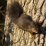 Rode eekhoorn, Red Squirrel, Sciurus vulgaris royalty free stock photo
