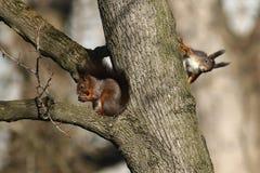 Rode eekhoorn twee Stock Fotografie