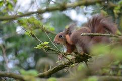 Rode eekhoorn, (vulgaris Sciurus) Stock Fotografie