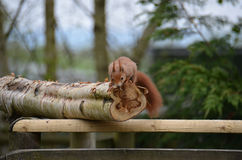 Rode eekhoorn, (vulgaris Sciurus) Royalty-vrije Stock Foto's