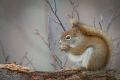 Rode eekhoorn - vulgaris Sciurus Stock Afbeelding
