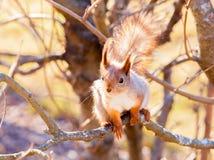 Rode eekhoornzitting op de tak Royalty-vrije Stock Afbeelding